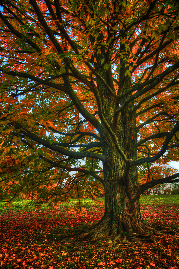 Fall Tree in the Morton Arboretum in Lisle, IL