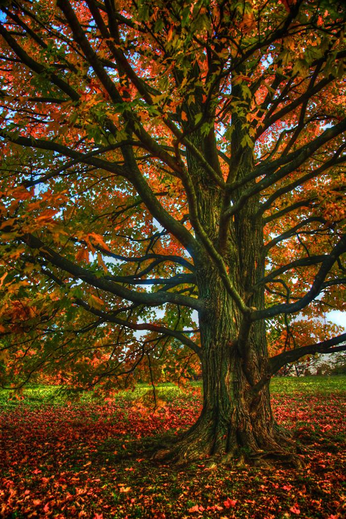 Fall Tree in the Morton Arboretum in Lisle, IL