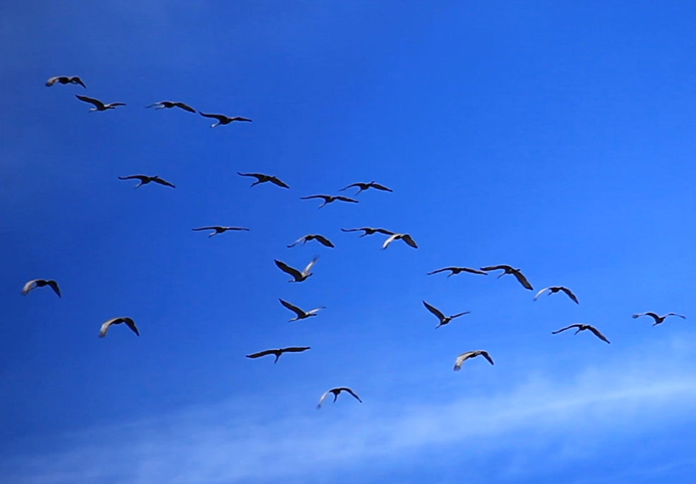 Sandhill Crane Migration in Northwest Indiana (Video) – March 2012