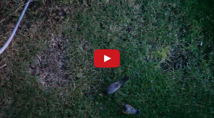 Mother Robin feeds Baby Robin, Teaches to Hunt (VIDEO)