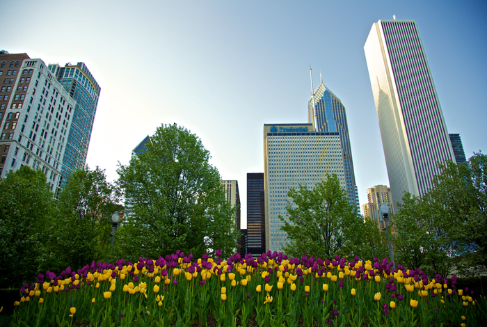 Chicago Spring Tulips in Millennium Park
