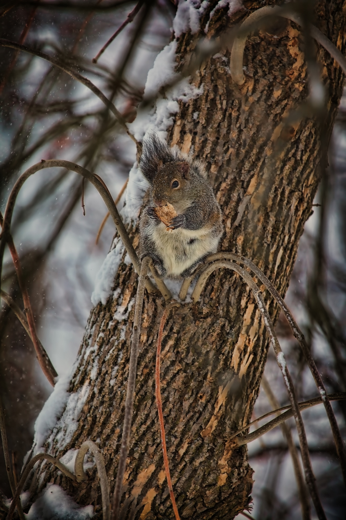 A hungry squirrel finds a piece of bread to eat in a cold winter storm.