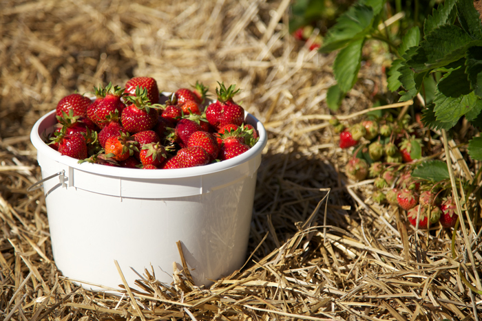 Strawberry Patch U-Pick Strawberries
